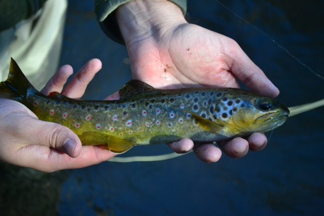 Steve-o's first fish of 2012 on a Dry Fly